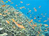 カクレクマノミとサンゴ礁