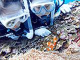 カクレクマノミを近くで見つめる体験ダイバー