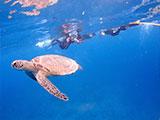 ウミガメを追いかけるダイバー