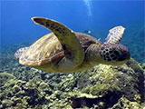 豪快に泳ぐウミガメ