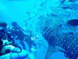 大きな魚とダイバー