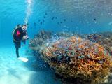 大きなサンゴに群がる小魚