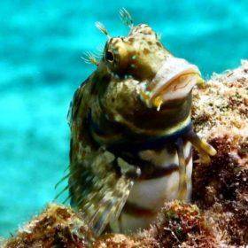 サンゴの上にいる小さなギンポ