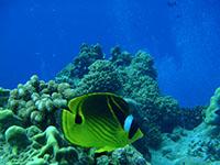 サンゴの横を泳ぐハナゴイ