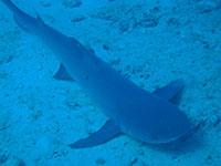 サメのような外観のネムリブカ