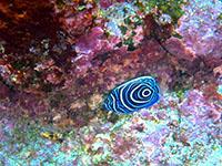 人気のタテジマキンチャクダイ幼魚