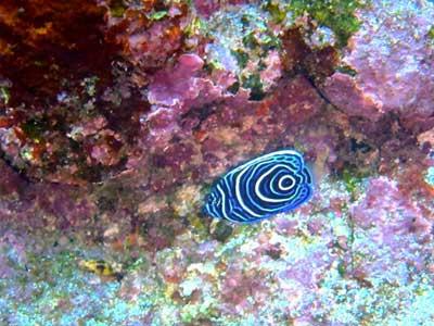 渦巻き模様のタテジマキンチャクダイ幼魚