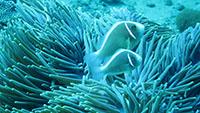 サンゴと同化するハナビラクマノミ