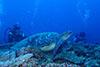 巨大なウミガメ