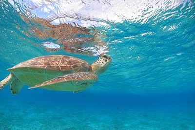 有効的なウミガメ