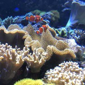 サンゴとクマノミ