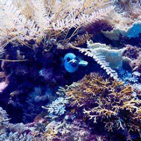 サンゴから顔を出す青い魚