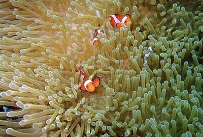 サンゴの中にいるカクレクマノミ